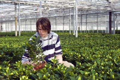 6484880-un-hombre-examinando-las-plantas-en-un-invernadero-rodeado-por-interminables-filas-de-lirios