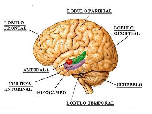 amigdala_hipocampo_corteza_entorrin