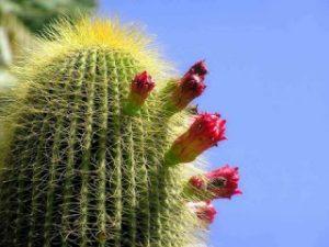 cactus-en-flor-5