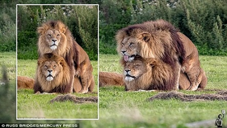 780x580-youtube-xuvq2vcflmg-el-responsable-de-la-censura-en-kenia-esta-escandalizado-por-una-escena-sexual-entre-dos-leones-machos