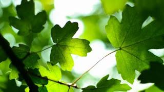 green_leaves_4k-5120x2880