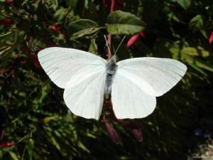 mariposa-blanca