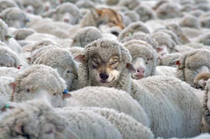 lobo-oveja
